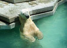 Free Tanning Polar Bear Stock Image - 14735101