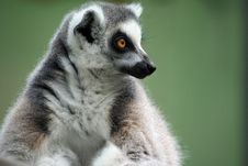 Free Contemplating Lemur Royalty Free Stock Photography - 14735297