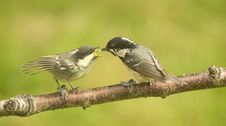 Free Coal Tit Fledgling Being Fed . Periparus Ater. Stock Photography - 14735642