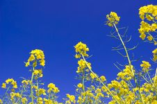 Free Yellow Flowers And Blue Sky. Stock Photography - 14736082