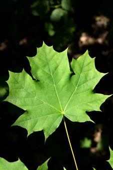 Free Leaves  Tree   Maple Stock Photo - 14736530