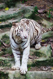 Free White Tiger Walking Royalty Free Stock Photo - 14736915