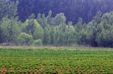 Free Fields And Poplar Royalty Free Stock Images - 14737689