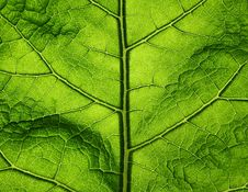 Free Green Big Leaf Royalty Free Stock Photos - 14737728