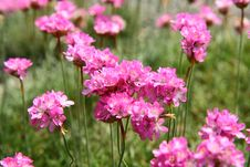Free Pink Flowers Royalty Free Stock Photo - 14738255