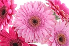 Free Pink Gerbera Flower Isolated On White Stock Photography - 14739372