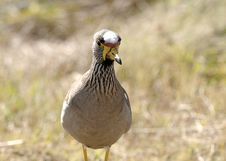 Free Crowned Lapwing Stock Image - 14739461