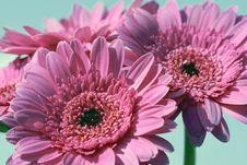 Free Pink  Gerbera Flower Royalty Free Stock Images - 14739549
