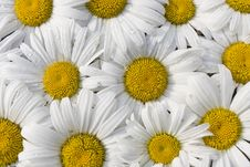 Free White Daisy Flowers Bunch Close Up Stock Image - 14739581