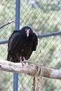 Free Turkey Vulture Royalty Free Stock Photos - 14747798