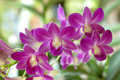 Free Orchid Royalty Free Stock Photography - 14748047