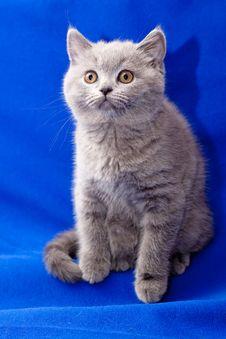 Free British Shorthair Blue Kitten Royalty Free Stock Image - 14740416