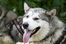 Free Malamute Dog Royalty Free Stock Image - 14741456