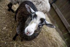Free Sheep Royalty Free Stock Photos - 14741478