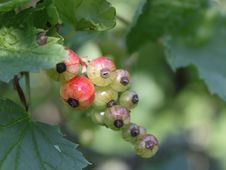 Free Unripe Red Currant In The Garden Stock Photography - 14741572