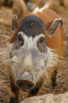 Free Red River Hog Royalty Free Stock Photography - 14742157
