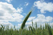 Free Greep Ear Of The Wheat Stock Image - 14742181
