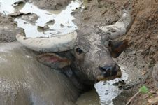 Free Water Buffalo Royalty Free Stock Images - 14742419