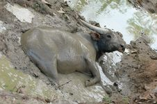 Free Water Buffalo Stock Image - 14742471