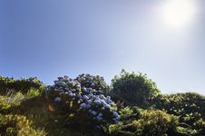 Hortensias In Faial, Azores Royalty Free Stock Image