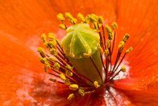 Free Corn Rose Royalty Free Stock Image - 14743306