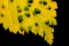 Free Yellow Leaf Royalty Free Stock Images - 14743329