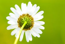 Free Leucanthemum Stock Images - 14743504