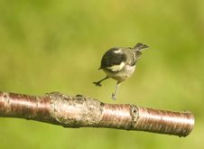Free Hard Landing  Coal Tit . Stock Photo - 14744110