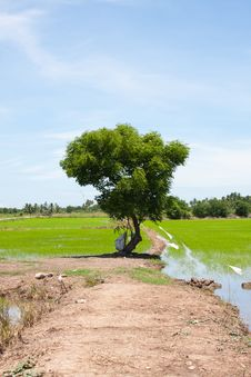 Free Tree And The Field Rice Stock Images - 14745264