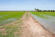 Free Sidewalk And The Field Rice Royalty Free Stock Images - 14745309