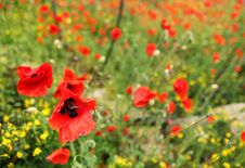 Free Field Of Poppies Stock Photos - 14745453