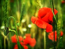 Free Poppies Close Up Royalty Free Stock Image - 14745696