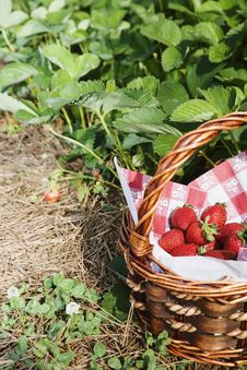 Free Strawberrys In Basket By Strawberry Patch Royalty Free Stock Photo - 14746605