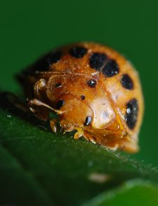 Free Ladybug On Leaf Stock Images - 14746684