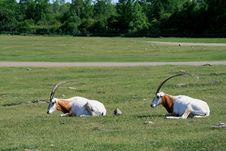 Free Two Scimitar-horned Oryx Royalty Free Stock Photography - 14747197
