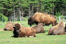 Free The Group Of Yaks Stock Images - 14747214