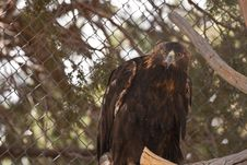 Free Golden Eagle Royalty Free Stock Photography - 14747787
