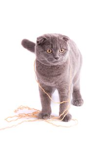 Free Scottish Fold Cat Royalty Free Stock Images - 14749209