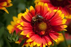 Bee On Yellow Red Flower Royalty Free Stock Images