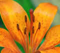 Free Stamens And Pistil Of Lily Royalty Free Stock Photography - 14756027