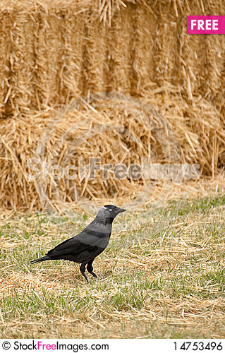 Rook and straw Stock Photo