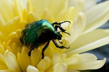 Free Green Bug (close Up) Stock Image - 14750301