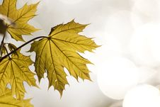 Free Maple Leaves Stock Photography - 14750502