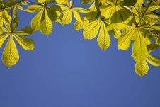 Free Chestnut Leaves Royalty Free Stock Photos - 14750518