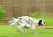 Free English Setter Running Stock Photography - 14751932