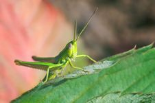 Free Green Grasshopper On Green Leaves Royalty Free Stock Photo - 14752185