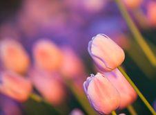 Free Tulips In Setting Sun Stock Photo - 14752360