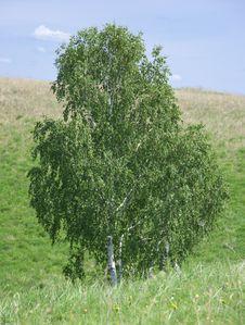 Free Birch Royalty Free Stock Image - 14752536