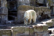 Free Polar Bear Stock Photos - 14752643