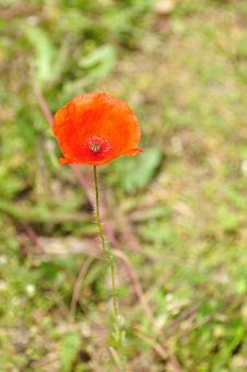 Free Poppy Bud Royalty Free Stock Photography - 14755737